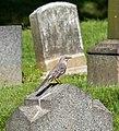 Mockingbird in GWC (12173).jpg