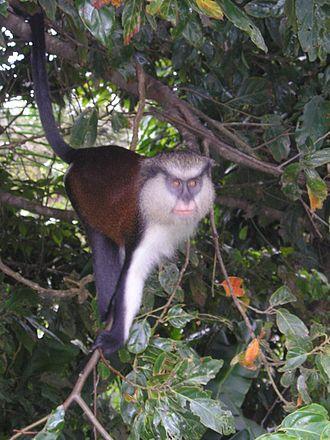 Mona monkey - Image: Mona Monkey, Cercopithecus mona