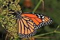 Monarch - Danaus plexippus, Herndon, Virginia (36201508034).jpg