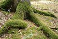 Moos bewachsene Baumwurzel auf dem Lämmerweg. Teutoburger Wald.jpg