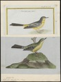 Motacilla boarula - 1700-1880 - Print - Iconographia Zoologica - Special Collections University of Amsterdam - UBA01 IZ16300119.tif