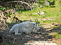 Mountain Goat in the Shade.JPG