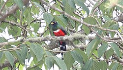Mountain Trogon (Trogon mexicanus) male (5783771564).jpg
