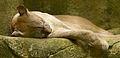 Mountain lion (13945309562).jpg