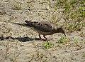 Mourning Dove. Zenaida macroura (24393680408).jpg