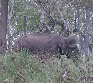 Baikunthapur Forest - Indian elephant in forest