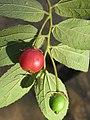 Muntingia calabura - Jamaica Cherry at Nedumpoil (13).jpg