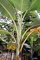 Musa paradisiaca var. sapientum Cuadrado 2zz.jpg
