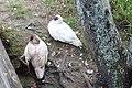 Muscovy ducks, General Coffee State Park.jpg