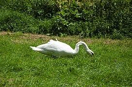 Mute swan foraging grass (3).jpg