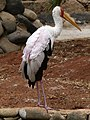 Mycteria ibis - yellow-billed stork - Nimmersatt - Tantale ibis - 02.jpg