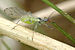 Green Peach Aphid - Photo (c) James K. Lindsey, some rights reserved (CC BY-SA)