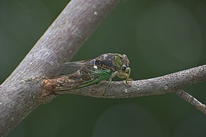 Neotibicen linnei - Another photo of a cicada during the beginning of August 2017 within far northeastern Ohio along the Pennsylvania border, using fill flash for showing detail within darker areas of the insect.
