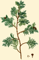 NAS-152a Chamaecyparis thyoides.png