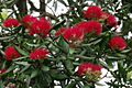 NZL-pohutukawa-weihnachtsbaum.jpg
