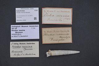 <i>Rhodea</i> genus of molluscs
