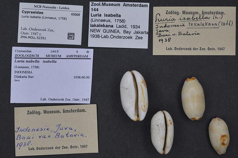 File:Naturalis Biodiversity Center - ZMA.MOLL.52351 - Luria isabella (Linnaeus, 1758) - Cypraeidae - Mollusc shell.jpeg