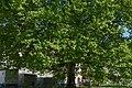Naturdenkmal Platane im Mitte.jpg