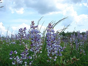Parasemia plantaginis - Lupine, a common host plant for Parasemia plantaginis