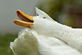 Neck and bill of a White Duck.jpg