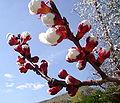 Nectarine branch surachit.jpg