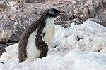 Neko Harbour Antarctica Gentoo Penguin Chick 2 (47284456152).jpg