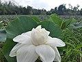 Nelumbo white lotus.jpg