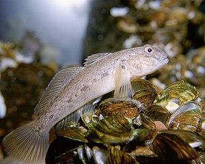 Euryhaline - Image: Neogobius melanostomus 1