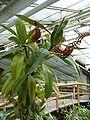 Nepenthes rafflesiana HabitusInflorescence BotGardBln0806.JPG