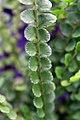 Nephrolepis cordifolia Duffii 3zz.jpg