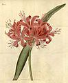 Nerine sarniensis2124.jpg