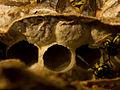 Nestbau der gemeinen Wespe IX.jpg