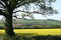 Nether Exe, oilseed rape field at Up Exe - geograph.org.uk - 404172.jpg