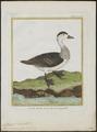 Nettapus coromandelicus - 1700-1880 - Print - Iconographia Zoologica - Special Collections University of Amsterdam - UBA01 IZ17600213.tif