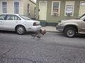 New Orleans 8th Ward Urban Chickens.JPG