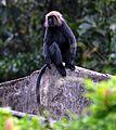 Nilgiri Black Langur.jpg