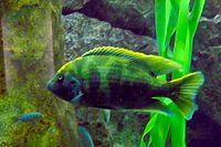 Nimbochromis venustus - Zoo Frankfurt 1.jpg
