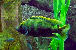 Nimbochromis venustus - Zoo Frankfurt 1