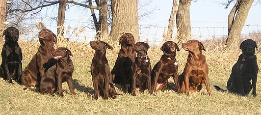 Nine Labrador Retrievers
