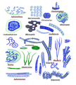Nitrogen-fixing cyanobacteria.png