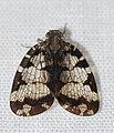 Nogodinid Planthopper (Nogodina reticulata) (25628896817).jpg