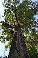 Noguera d'Amèrica o pacaner (Carya illinoinensis) al jardí botànic, València.JPG