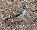 Noisy Miner. Manorina melanocephala - Flickr - gailhampshire.jpg