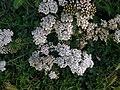 Noordwijk - Duizendblad (Achillea millefolium).jpg