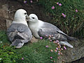 Northern Fulmar scotland RWD3.jpg