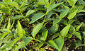 Nyctanthes arbor-tristis leaves.jpg