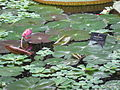 Nymphaea 'Texas Shell Pink', RBGE 2009.jpg