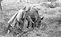 Nysgjerrig ku - Curious cow (1961) (15696419939).jpg