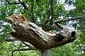Oak Tree next to the Rufus Stone.jpg