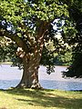 Oak tree by Bow Creek - geograph.org.uk - 212999.jpg